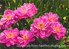 Peonies with Painterly Effects