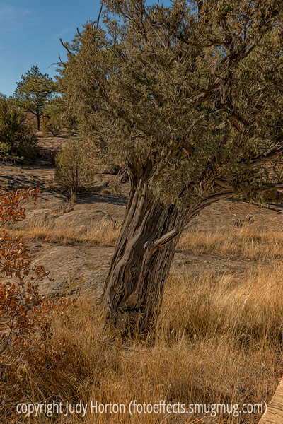 Old Cedar at Castlewood Canyon State Park