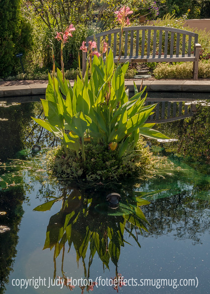 Canna Lily and Reflection