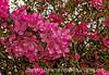 Crabapple Blooms in Spring