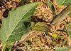 Datura Bud