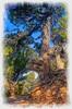 Old Tree on North Rim