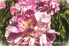 Peony with Painterly Effects