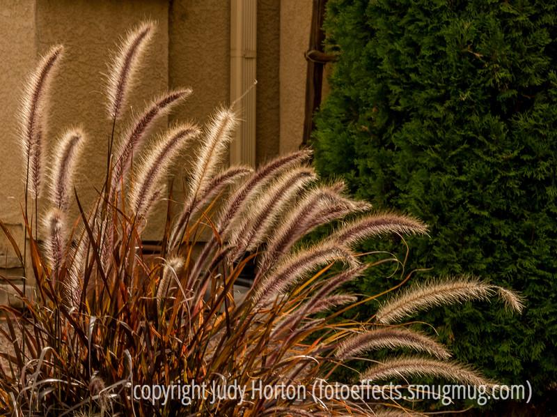 Backlit Grass Seedheads