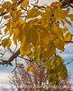 Autumn Ash Tree Leaves