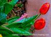 Icy Tulips