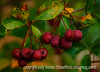 Hawthorn Fruit in Autumn