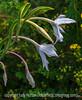 Perennial Gladiolus