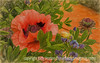 Oriental Poppy with Various Effects