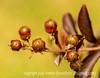 Crepe Myrtle Seedheads