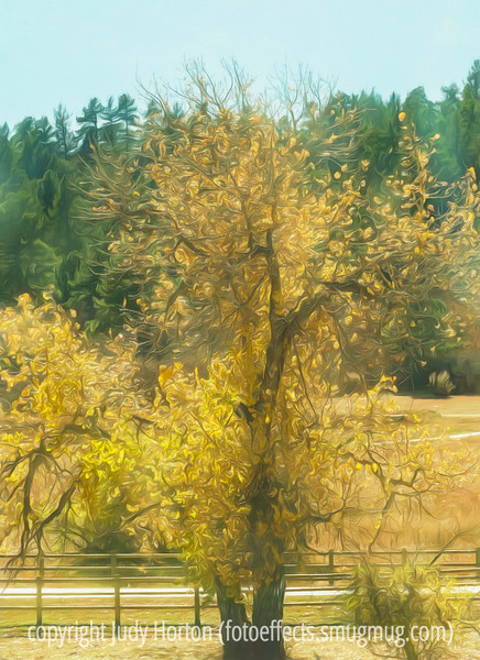 Cottonwood Tree in Autumn
