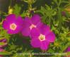 Perennial Geranium