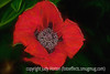 Oriental Poppy with Painterly Effects