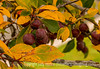 Autumn Fruit
