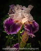Bearded German Iris with Painterly Effects
