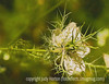 Nigella, Love-in-a-Mist