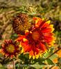 Galliardia and Bee
