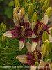Asian Lilies with Raindrops