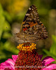 Butterfly on a Zinnia