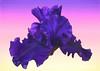 German Iris, Painterly Effects