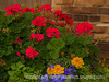 Geranium, Marigolds and Lobelia