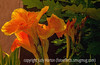 Canna Lilies with Various Effects