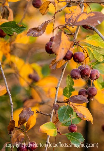 Hawthorne Berries in Autumn