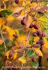 Hawthorne Berries in Autumn