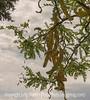 Locust Seedpods