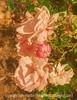Roses and Ladybug
