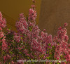 Korean Lilac