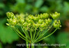 Water Parsnip and Unexpected Insect