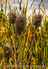 Old Teasel Seedheads