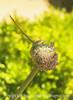 Allium Buds