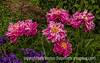 Peonies and Dutch Iris