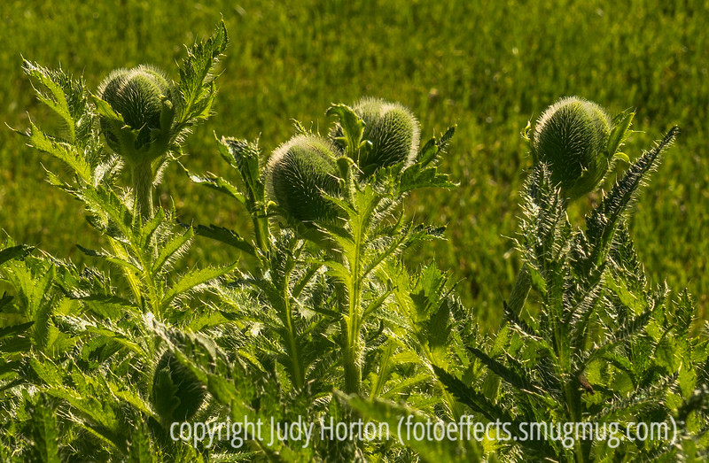 Oriental Poppy Buds and Leaves