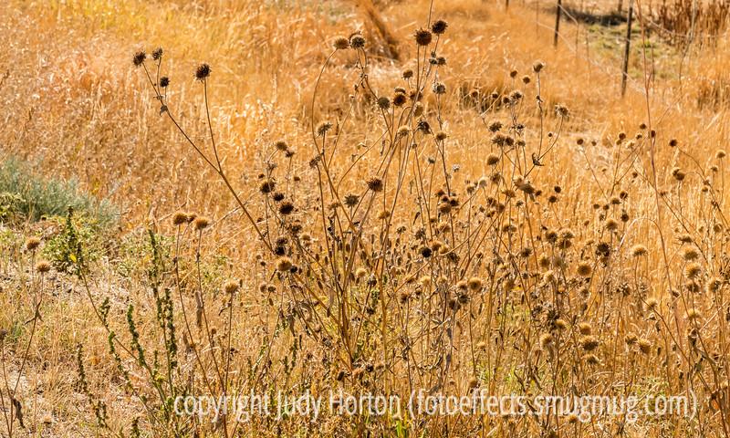 Wild Sunflower Seedheads