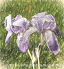 Dutch Iris with Painterly Effects