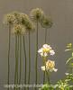 Allium Seedheads and Bearded Iris