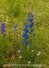 Delphinium with Various Effects