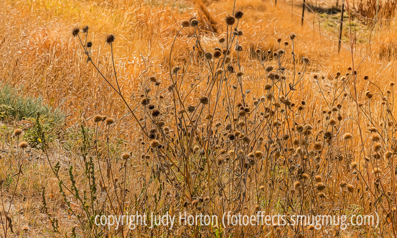 Wild Sunflower Seedheads