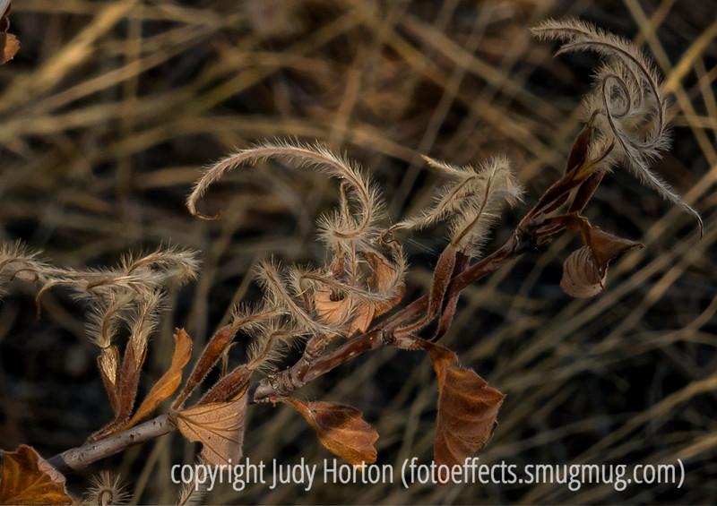 Gambel Oak Seedheads