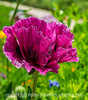 Oriental Poppy in an Unusual Color