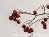 Crabapples in Winter