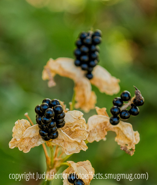 Seeds of Blackberry Lily