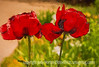 Oriental Poppies with Various Effects