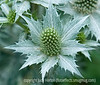 Sea Holly, Erygium; best viewed in the largest sizes