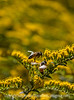 Bee and Goldenrod