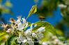Bee in Springtime