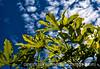Castor Bean Leaves